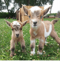 Baby, It's Cold Outside, Dank, and Goat: Baby goats :P
