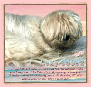 Animals, Desperate, and Dogs: Baby  Grf  Stet  Lexy 65892  a sweet little fluff ball in need of a good Spa Day but most of all a  new, loving home. This little cutie is 10 yrs young, only weighs  12 lbs & is waiting for your loving arms at the Brooklyn, NY ACC.  Inquire about her now before it is too late! **FOSTER or ADOPTER NEEDED ASAP** Lexy 65892 ... a sweet little fluff ball in need of a good Spa Day but most of all a new, loving home. This little cutie is 10 yrs young, only weighs 12 lbs & is waiting for your loving arms at the Brooklyn, NY ACC. Inquire about her now before it is too late!  ✔Pledge✔Tag✔Share✔FOSTER✔ADOPT✔Save a life!  Lexy 65892   Small Mixed Breed Sex female Age 10 yrs (approx.) - 12 lbs  My health has been checked.  My vaccinations are up to date. My worming is up to date.  I have been micro-chipped.   I am waiting for you at the Brooklyn, NY ACC. Please, Please, Please, save me!  **************************************** *** TO FOSTER OR ADOPT ***   If you would like to adopt a NYC ACC dog, and can get to the shelter in person to complete the adoption process, you can contact the shelter directly. We have provided the Brooklyn, Staten Island and Manhattan information below. Adoption hours at these facilities is Noon – 8:00 p.m. (6:30 on weekends)  If you CANNOT get to the shelter in person and you want to FOSTER OR ADOPT a NYC ACC Dog, you can PRIVATE MESSAGE our Must Love Dogs - Saving NYC Dogs page for assistance. PLEASE NOTE: You MUST live in NY, NJ, PA, CT, RI, DE, MD, MA, NH, VT, ME or Northern VA. You will need to fill out applications with a New Hope Rescue Partner to foster or adopt a NYC ACC dog. Transport is available if you live within the prescribed range of states.  Shelter contact information: Phone number (212) 788-4000 Email adopt@nycacc.org  Shelter Addresses: Brooklyn Shelter: 2336 Linden Boulevard Brooklyn, NY 11208 Manhattan Shelter: 326 East 110 St. New York, NY 10029 Staten Island Shelter: 3139 Veterans Road West Staten Island, NY 10309 **************************************  NOTE:  WE HAVE NO OTHER INFORMATION THAN WHAT IS LISTED WITH THIS FLYER ***  ************************************** RE: ACC site Just because a dog is not on the ACC site does NOT necessarily mean safe. There are many reasons for this like a hold or an eval has not been conducted yet or the dog is rescue-only... the list goes on... Please, do share & apply to foster/adopt these pups as well until their thread is updated with their most current status. TY! ****************************************** About Must Love Dogs - Saving NYC Dogs: We are a group of advocates (NOT a shelter NOR a rescue group) dedicated to finding loving homes for NYC dogs in desperate need. ALL the dogs on our site need Rescue, Fosters, or Adopters & that ASAP as they are in NYC high-kill shelters. If you cannot foster or adopt, please share them far & wide. Thank you for caring!! <3 ****************************************** RESCUES: * Indicates New Hope Rescue partner is accepting applications for fosters and/or adopters. http://www.nycacc.org/get-involved/new-hope/nhpartners ****************************************** https://www.nycacc.org/adopt/lexy-65892 ++++ http://nycaccpets.shelterbuddy.com/animal/animalDetails.asp?s=adoption&searchTypeId=4&animalType=3%2C16&datelostfoundmonth=6&datelostfoundday=15&datelostfoundyear=2019&tpage=9&find-submitbtn=Find+Animals&pagesize=16&task=view&searchType=4&animalid=99640 ++++ ++++ Beamer Maximillian Carolin Hocker Caro Hocker