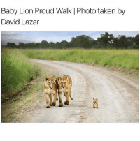 Memes, Taken, and Animal: Baby Lion Proud Walk l Photo taken by  David Lazar This made me smile :) What is your favourite animal, mine is the elephant 🐘