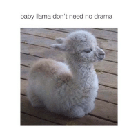 cute llama: baby llama don't need no drama