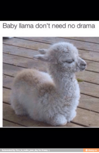 cute llama: Baby llama don't need no drama  e ifunny.co  Reinvented by Pics to make your day for iFunny