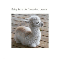 Nerp. Keep that over there wit the rest of the lames. baby Llama nodrama swervecity gtfoh getallthewaythefuckouttahere lmmfao lmfao lmao funny hilarious repost @jenisethabeast hadmerollin cryinglaughing toodamnfunny whothinksofthiscrap: Baby llama don't need no drama Nerp. Keep that over there wit the rest of the lames. baby Llama nodrama swervecity gtfoh getallthewaythefuckouttahere lmmfao lmfao lmao funny hilarious repost @jenisethabeast hadmerollin cryinglaughing toodamnfunny whothinksofthiscrap