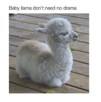 This is gonna be me at my family's Thanksgiving, but I'm not cute: Baby llama don't need no drama This is gonna be me at my family's Thanksgiving, but I'm not cute