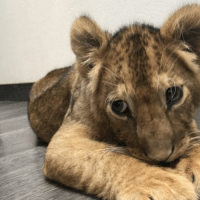 Baby Marie of the @blackjaguarwhitetiger Foundation has such unique coloring and is sooo beautiful 💛 Watching her playing in the garden during Facebook Live truly makes me smile! blackjaguarwhitetiger savelions itsallforlove BabyMarieBJWT BambinosPrideBJWT RescuedLion NOTpets: Baby Marie of the @blackjaguarwhitetiger Foundation has such unique coloring and is sooo beautiful 💛 Watching her playing in the garden during Facebook Live truly makes me smile! blackjaguarwhitetiger savelions itsallforlove BabyMarieBJWT BambinosPrideBJWT RescuedLion NOTpets