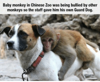 This is nice: Baby monkey in Chinese Zoo was being bullied by other  monkeys so the staff gave him his own Guard Dog. This is nice