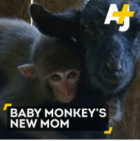 This orphaned baby monkey just got a new mom. 🐵+🐐 = ❤️: BABY MONKEY'S  NEW MOM This orphaned baby monkey just got a new mom. 🐵+🐐 = ❤️