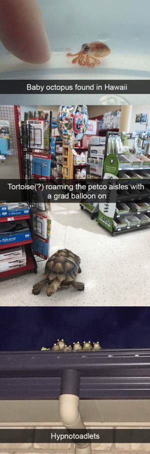 Target, Tumblr, and Animal: Baby octopus found in Hawaii   Tortoise(?) roaming the petco aisles With  a arad balloon on  PET PAD   Hypnotoadlets animalsnaps:Animal snaps
