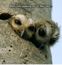 Nest, Baby, and One: Baby owls peeking out of their nest.. <p>One Day They Will Rule The Night.</p>