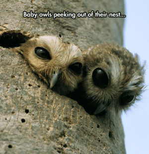 Tumblr, Blog, and Http: Baby owls peeking  out of their nest... srsfunny:One Day They Will Rule The Night