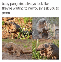 hey: baby pangolins always look like  they're waiting to nervously ask you to  prom hey