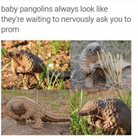 baby pangolin: baby pangolins always look like  they're waiting to nervously ask you to  prom