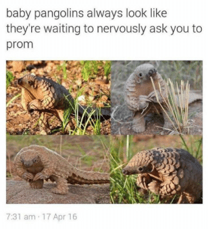 awh these lil guys: baby pangolins always look like  they're waiting to nervously ask you to  prom  7:31 am 17 Apr 16 awh these lil guys