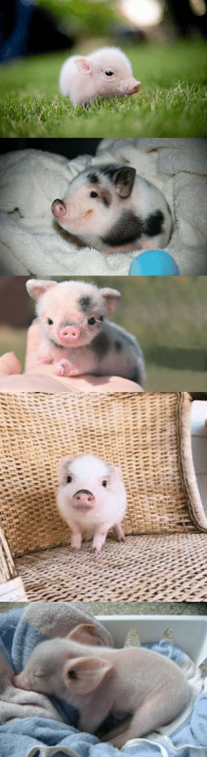 Baby pigs are so cute!: Baby pigs are so cute!