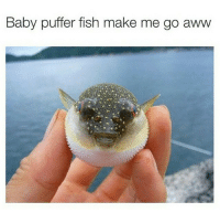 Aww, Baby, It's Cold Outside, and Funny: Baby puffer fish make me go aww