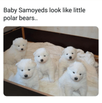 Do not , I repeat DO NOT follow @fuckboyproblem.s if you get easily offended 🤬🤯: Baby Samoyeds look like little  polar bears. Do not , I repeat DO NOT follow @fuckboyproblem.s if you get easily offended 🤬🤯