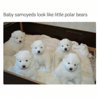Funny, Ted, and Bear: Baby samoyeds look like little polar bears  hilarious ted Anyone know a good Samoyed breeder? I want 12 of them (@hilarious.ted)