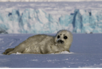 Baby seals have black eyes with no pupils to better see in the dark. This is vital, as baby seals spend a lot of time clubbing.: Baby seals have black eyes with no pupils to better see in the dark. This is vital, as baby seals spend a lot of time clubbing.