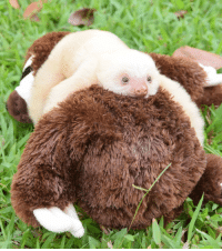 Baby sloth on a stuffed sloth toy: Baby sloth on a stuffed sloth toy
