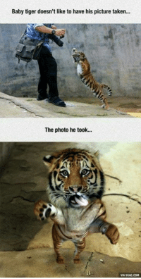 Memes, Tiger, and Tigers: Baby tiger doesn't like to have his picture taken...  The photo he took...  VIA9GAG.COM Little tiger doesn't like to be photographed!
