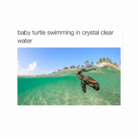 Baby, It's Cold Outside, Turtle, and Water: baby turtle swimming in crystal clear  water goLs