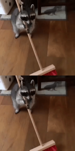 babyanimalgifs:A RACCOON CAN FIND TIME TO SWEEP THE FLOOR BUT YOU CANT TAKE TIME TO TEXT BACK: babyanimalgifs:A RACCOON CAN FIND TIME TO SWEEP THE FLOOR BUT YOU CANT TAKE TIME TO TEXT BACK