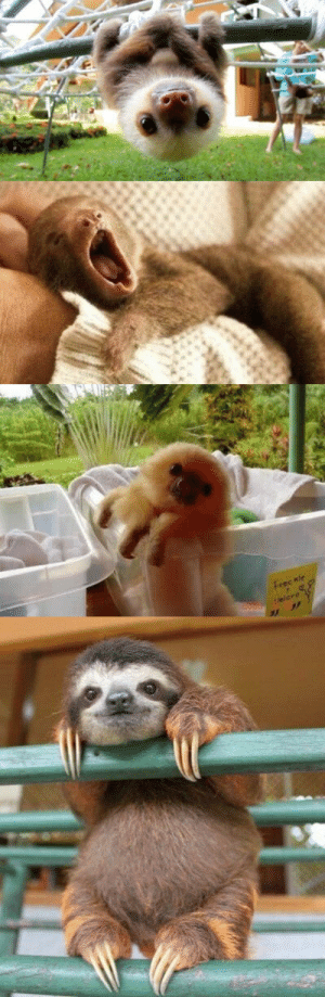 babyanimalgifs:  BABY SLOTHS ARE THE CUTEST: babyanimalgifs:  BABY SLOTHS ARE THE CUTEST