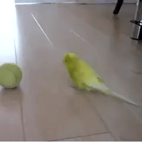babyanimalgifs:Bird Balancing on Tennis Ball.: babyanimalgifs:Bird Balancing on Tennis Ball.