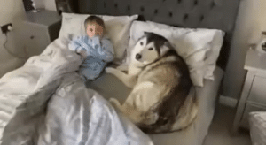 babyanimalgifs:  Dog refuses to get out of bed then proceeds to fall asleep looking after baby(Source): babyanimalgifs:  Dog refuses to get out of bed then proceeds to fall asleep looking after baby(Source)