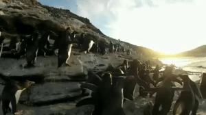 babyanimalgifs:How are penguins not extinct?: babyanimalgifs:How are penguins not extinct?