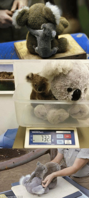 babyanimalgifs:  Important reminder that baby koalas are weighed with stuffed animals to reduce stress while separated from mom.: babyanimalgifs:  Important reminder that baby koalas are weighed with stuffed animals to reduce stress while separated from mom.