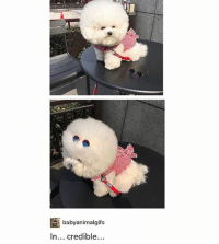Memes, 🤖, and Woofer: babyanimalgifs  In... credible... poofy woofer - Max textpost textposts