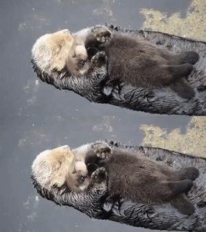 babyanimalgifs:  OTTER MOMS LET BABY OTTERS FLOAT ON THEIR STOMACHS TO KEEP THEM DRY AND NOW I CAN NOT STOP CRYING: babyanimalgifs:  OTTER MOMS LET BABY OTTERS FLOAT ON THEIR STOMACHS TO KEEP THEM DRY AND NOW I CAN NOT STOP CRYING