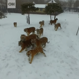 babyanimalgifs: tigers chasing a drone Edit: I have been made aware that this is actually taken from a tiger farm in China which makes me sad because i never knew this when I shared the video. credit: @cnninternational : babyanimalgifs: tigers chasing a drone Edit: I have been made aware that this is actually taken from a tiger farm in China which makes me sad because i never knew this when I shared the video. credit: @cnninternational