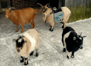 babygoatsandfriends:  clairvoyantbarnacle:  izahbel: Pickles and her friends are going on a adventure!  WHICH ONE IS PICKLES  Pickles is wearing the backpack! also, this is Pickles as a baby =)<3 : babygoatsandfriends:  clairvoyantbarnacle:  izahbel: Pickles and her friends are going on a adventure!  WHICH ONE IS PICKLES  Pickles is wearing the backpack! also, this is Pickles as a baby =)<3