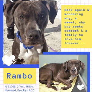 Andrew Bogut, Apparently, and Cats: Back again &  wondering  why, a  sweet, shy  boy seeks  comfort & a  family to  love him  Iorever...  Rambo  Id 31068, 2 Yrs., 46 lbs.  Neutered, Brooklyn AcC INTAKE DATE – 3/4/2019  RAMBO remembers.  He knows this place.  He had hoped to never see this place again.  Who can blame him?  He was hit by a car back in June of 2018 and the person who hit him, brought him to the shelter.  There he suffered incredible pain as he waited, and hoped, for a rescue.  How long he waited, we don't remember.  But sometimes these dogs sit there for over a week, their only treatment being a pain killer like Rimadyl.  Rambo remembers though, and he wishes he could forget.  Now he is back at the shelter, supposedly a stray, and though his fractures and breaks have healed, his heart has not.  During his initial date with medical, he was timid, tense and whale eyed as they examined him and took radiographs.  They remember him too, and sadly, everyone wishes he was not there again.  He's such a good, sweet boy, just a youngster at 2 years of age, and all he wants, all he has EVER wanted, is a family of his own who will love him, adore him, play with him, and keep him safe.  All he wants is what everyone wants --  a happy life. Can you foster or adopt him so he can finally have his dream come true?  If so please Message our page or email us at MustLoveDogsNYC@gmail.com for assistance.   RAMBO, ID# 31068, 2 Yrs. old, 46.6 lbs., Neutered Male Brooklyn ACC, Large Mixed Breed, Black / Chestnut Surrender Reason:  Found – Stray, 3/4/2019  Shelter Assessment Rating:  Medical Behavior Rating:   MEDICAL EXAM NOTES   DVM Intake Exam.  Estimated age: 2 years.  Microchip noted on Intake? positive.  History : stray intake.   Subjective: BARH.  Observed Behavior -nervous, tense, shaking, whale eyes. Allowed full PE. Wandered around room with loose body.  Evidence of Cruelty seen – no.  Evidence of Trauma seen - no but was previously HBC.  Objective:  P = wnl, R = eupneic, BCS 4/9.  EENT: Eyes clear, ears clean, no nasal discharge noted.  Oral Exam: clean adult dentition, no oral lesions noted.  PLN: No enlargements noted.  H/L: NSR, NMA, CRT < 2, Lungs clear, eupneic.  ABD: Non painful, no masses palpated.  U/G: MN.  MSI: Ambulatory x 4, no lameness noted, skin free of parasites, no masses noted, healthy hair coat CNS: mentation appropriate - no signs of neurologic abnormalities.  Assessment:  Apparently healthy.  Hx HBC   June 2018-had right coxofemoral toggle pin fixation-fractures healed well.  Plan: Continue to monitor while at BACC.  TID feeding.  Start trazodone 100mg PO BID.  Sedated with dexdomitor 10mcg/kg + butorphanol 0.2mg/kg IV, reversed with equal part antisedan to dexdomitor IM.  2 view pelvic rads-right coxofemoral toggle pin in place and appears healed, pelvic symphseal fracture healed, right sacroiliac luxation healed.    Prognosis: Good  SURGERY: neutered.  MEDICAL EXAM NOTES FIRST STAY JUNE 2018  Previously here - HBC stray 6/13.  -brought in by person who hit the dog. Sedated rads showed sacral fractures, ischial and pubic fractures,and a right coxofemoral luxation. Started on rimadyl, tramadol, clindamycin, and IVF. Sent to VERG Brooklyn for surgery and management. 6/20 report from VERG showed he had BW (CBC/Chem)-mildly elevated AST, consistent with trauma. Radiographs and a CT scan showed multiple comminuted sacral fractures, ischial and pubic fractures, and a craniodorsal right coxofemoral luxation. He had a right coxofemoral toggle pin fixation and castration. He was started on rimadyl, cephalexin, and gabapentin post-op.  *** TO FOSTER OR ADOPT ***    If you would like to adopt a NYC ACC dog, and can get to the Shelter in person to complete the adoption process, you can contact the Shelter directly. We have provided the Brooklyn, Staten Island and Manhattan information below. Adoption hours at these facilities is Noon – 8:00 p.m. (6:30 on weekends)  If you CANNOT get to the Shelter in person and you want to FOSTER OR ADOPT a NYC ACC Dog, you can PRIVATE MESSAGE our Must Love Dogs page for assistance. PLEASE NOTE: You MUST live in NY, NJ, PA, CT, RI, DE, MD, MA, NH, VT, ME or Northern VA. You will need to fill out applications with a New Hope Rescue Partner to foster or adopt a NYC ACC dog. Transport is available if you live within the prescribed range of states.  Shelter contact information: Phone number (212) 788-4000 Email adopt@nycacc.org  Shelter Addresses: Brooklyn Shelter: 2336 Linden Boulevard Brooklyn, NY 11208 Manhattan Shelter: 326 East 110 St. New York, NY 10029 Staten Island Shelter: 3139 Veterans Road West Staten Island, NY 10309  *** NEW NYC ACC RATING SYSTEM ***  Level 1 Dogs with Level 1 determinations are suitable for the majority of homes. These dogs are not displaying concerning behaviors in Shelter, and the owner surrender profile (where available) is positive. Some dogs with Level 1 determinations may still have potential challenges, but these are challenges that the behavior team believe can be handled by the majority of adopters. The potential challenges could include no young children, prefers to be the only dog, no dog parks, no cats, kennel presence, basic manners, low level fear and mild anxiety.   Level 2  Dogs with Level 2 determinations will be suitable for adopters with some previous dog experience. They will have displayed behavior in the Shelter (or have owner reported behavior) that requires some training, or is simply not suitable for an adopter with minimal experience. Dogs with a Level 2 determination may have multiple potential challenges and these may be presenting at differing levels of intensity, so careful consideration of the behavior notes will be required for counselling. Potential challenges at Level 2 include no young children, single pet home, resource guarding, on-leash reactivity, mouthiness, fear with potential for escalation, impulse control/arousal, anxiety and separation anxiety.   Level 3 Dogs with Level 3 determinations will need to go to homes with experienced adopters, and the ACC strongly suggest that the adopter have prior experience with the challenges described and/or an understanding of the challenge and how to manage it safely in a home environment. In many cases, a trainer will be needed to manage and work on the behaviors safely in a home environment. It is likely that every dog with a Level 3 determination will have a behavior modification or training plan available to them from the behavior department that will go home with the adopters and be made available to the New Hope Partners for their fosters and adopters. Some of the challenges seen at Level 3 are also seen at Level 1 and Level 2, but when seen alongside a Level 3 determination can be assumed to be more severe. The potential challenges for Level 3 determinations include adult only home (no children under the age of 13), single pet home, resource guarding, on-leash reactivity with potential for redirection, mouthiness with pressure, potential escalation to threatening behavior, impulse control, arousal, anxiety, separation anxiety, bite history (human), bite history (dog) and bite history (other).