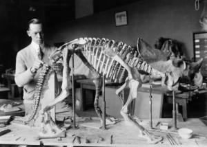Dinosaur, The Division, and Tumblr: back-then: Norman Ross of the division of Paleontology, National Museum, preparing the skeleton of a baby dinosaur. 1921  Source: Library of Congress