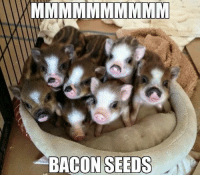 Memes, Bacon, and 🤖: BACON SEEDS