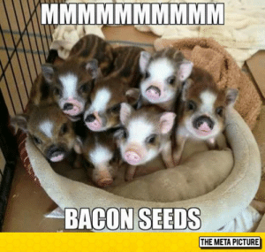 srsfunny:Deliciousness In The Making: BACON SEEDS  THE META PICTURE srsfunny:Deliciousness In The Making