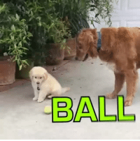 Dank, Puppies, and Golden Retriever: BALL Attention span of a golden retriever puppy