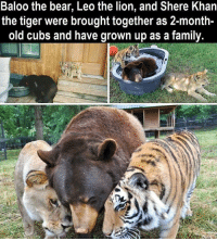 Memes, Bear, and Bears: Baloo the bear, Leo the lion, and Shere Khan  the tiger were brought together as 2-month-  old cubs and have grown up as a family.