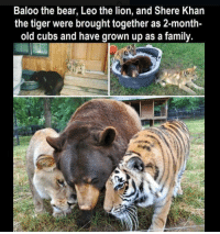 Family, Bear, and Cubs: Baloo the bear, Leo the lion, and Shere Khan  the tiger were brought together as 2-month-  old cubs and have grown up as a family. https://t.co/LIARRoYy24