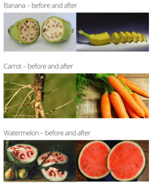 "Animals, Food, and Fucking: Banana - before and after  Carrot-before and after  Watermelon- before and after 69winedad:  cubern:   thespectacularspider-girl:  jiggly-jello-squid:  art-angelsz:  nunyabizni:   trashcanbees:  asapscience:  Fruits and vegetables, before and after human intervention.  Source   We did a pretty good fucking job, Jesus Christ  Remember this the next time you want to complain about GMO's, we may not have done it in a lab but they still are that.   Bananas looked like lemons wtf   Isn't this more of a combination of selective breeding and GMOs? Not just GMOs?  Yes.  But people talk about how GMO's are ""unnatural"", yet for centuries humanity has been exploiting mutations in animals and plants to produce food for themselves. GMO's are simply the process of inducing these mutations reliably. People hear ""Lettuce being modified with scorpion DNA"" and think that we're now eating scorpions.  But, in reality, they're taking a tiny bit of scorpion DNA and splicing it into the plant.  Why?  So the plant will produce poison that is not harmful to humans but will deter insects, reducing the use of pesticide, which CAN be harmful to humans and the environment. GMOs are producing rice that can survive flooding, which makes rice more reliable yields and will prevent food shortages in poor nations that rely on said crops for staple food. GMOs are also creating spider-goat hybrids.  Why? So we can splice web production into the goat's udders.  We'll be able to spin huge quantities of spider silk, enough to reliably create spider silk cables and ropes, which have more tensile strength than steel.  I for one am glad I live in a time where watermelons aren't giant tomato abominations   Are we gonna ignore the whole spider goat thing or what"