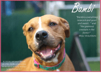 "A Dream, Andrew Bogut, and Bambi: Banb  ""Bambi is everything  innocent and good  and sweet..."" and  ""the prettiest  creature in the  forest!""  Macc Volunteers  Id 33334, AVERAGE Rated!  @ 3 Yrs., 55 lbs. of pure love  Perfection is waiting for YOU  In Manhattan ACC INTAKE DATE – 7/5/2018  ""BAMBI is everything innocent and good and sweet"" and ""she's the most beautiful creature in the forest.""     Just a few of the gushing accolades from the smitten volunteers at the Manhattan Center who simply adore this ravishing beauty who appears to be not made of flesh and bone, but of gossamer and angel wings and all that is magical, ethereal, and dreamy.   She is simply a ""one in a million"" dog, who has a platinum AVERAGE rating, and she got all Coveted 1's across the board on her safer (the highest you can get).   As a volunteer writes:  ""True to her name, Bambi is everything innocent and good and sweet, a shy young beauty able to melt any heart with just a longing look and a tiny tail wag. She walks like a dream on leash, greets new friends politely and remains incredibly easy to handle in almost any situation. When it comes to snuggle time this big mush is a real pro and she's eager to hop up on a bench, stretch allllll the way out and then give in completely to a body massage from one of her adoring fans. Once she spots another dog in the pen next-door it's all paws on deck as she pops up to investigate then pops down again when he comes over for a through-the-fence snuffle, softly wagging her tail in a friendly hello. Bambi is practically perfect inside and out and she's got the spotless behavior assessment to prove it, too. The only time she offers any kind of resistance is when walking back to her lonely kennel-for-one and who can blame her? It's clear that her heart home, the place where she'd glow with happiness and contentment 24/7, is as a beloved family pet. Bambi's a dream dog still patiently waiting for her own dream to come true and she's ready to meet, kiss, snuggle and charm you at our Manhattan Care Center. Ask for her by name and get ready to fall in love!""   PRIVATE MESSAGE our page or email us at MustLoveDogsNYC@gmail.com for assistance fostering or adopting this one in a million girl.    Another volunteer, when asked about Bambi, stated, ""Bambi?  She is SUCH a sweetheart, used for breeding and so dirty my hand came away black, though she looks clean. She's like the younger version of Dorma, very gentle and a little timid at first, loves caresses and bench time but a good walker too. She seems great with other dogs, very curious (she's peering over the pool at her new boyfriend) polite and friendly on meeting and greeting.""  BAMBI THE BUBBLY BEAUTY QUEEN!   https://www.youtube.com/watch?v=G6ynM10Pvk4    BAMBI, ID # 33334 @ 3 Yrs. Old, 55.4 lbs.  Manhattan ACC,  Large Mixed Breed, Tan / Tan, Unaltered Female Owner Surrender Reason:     Shelter Assessment Rating:     AVERAGE (suitable for a family with an average amount of dog experience) Intake Behavior Rating:   1.  Green  PLAYGROUP NOTES – DOG TO DOG SUMMARIES:  7/5: When introduced off leash to the male greeter dog, Bambi is tense and follows while posturing to mount.  7/6: Bambi greets a group of male and female dogs politely then wanders off on her own.       *** TO FOSTER OR ADOPT ***    If you would like to adopt a NYC ACC dog, and can get to the shelter in person to complete the adoption process, you can contact the shelter directly. We have provided the Brooklyn, Staten Island and Manhattan information below. Adoption hours at these facilities is Noon – 8:00 p.m. (6:30 on weekends)  If you CANNOT get to the shelter in person and you want to FOSTER OR ADOPT a NYC ACC Dog, you can PRIVATE MESSAGE our Must Love Dogs page for assistance. PLEASE NOTE: You MUST live in NY, NJ, PA, CT, RI, DE, MD, MA, NH, VT, ME or Northern VA. You will need to fill out applications with a New Hope Rescue Partner to foster or adopt a NYC ACC dog. Transport is available if you live within the prescribed range of states.  Shelter contact information: Phone number (212) 788-4000  Email adoption@nycacc.org  Shelter Addresses: Brooklyn Shelter: 2336 Linden Boulevard Brooklyn, NY 11208 Manhattan Shelter: 326 East 110 St. New York, NY 10029 Staten Island Shelter: 3139 Veterans Road West Staten Island, NY 10309"