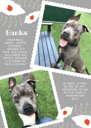"""INTAKE DATE – 4/2/2019  Happy, sweet Banks who lived with a 9-month-old child, followed the family from room to room, and was apparently fond of face licking. <3  A volunteer writes: """"Banks is a happy puppy who doesn't realize he's actually grown up, and he will do whatever it takes to be your new best friend. While some of his attempts are a bit clumsy and awkward, they only make him more endearing. Our play date quickly showed he was worthy of a dance cameo in Pharrell's """"Happy"""" video. He's overjoyed to come out of his cage, eager to bound down the steps, thrilled to go for a walk, and ecstatic to be able to play. Tennis balls are a favorite because he can run, jump and launch into a game of chase all on his own. Not surprisingly, he's strong on a leash. When he gets overly excited he leaps in the air, and if you sit down he'll try his best to climb on you. A class in Manners 101 would be helpful. He already knows how to take treats softly and will sit if you bribe him with a good one. His previous family describes him as timid but loving and affectionate. He lived with a 9-month-old child, followed the family from room to room, and was apparently fond of face licking."""" Message our page or email us at MustLoveDogsNYC@gmail.com for assistance fostering or adopting Banks --- and be prepared for a lifetime of """"face lickings.""""  😊           BANKS, ID# 58882, 1 Yr. old, 52.6 lbs., Neutered Male Manhattan ACC, Large Mixed Breed, Gray / White    Owner Surrender Reason:    Shelter Assessment Rating:    Medical Behavior Rating:   *** TO FOSTER OR ADOPT ***   If you would like to adopt a NYC ACC dog, and can get to the shelter in person to complete the adoption process, you can contact the shelter directly. We have provided the Brooklyn, Staten Island and Manhattan information below. Adoption hours at these facilities is Noon – 8:00 p.m. (6:30 on weekends)  If you CANNOT get to the shelter in person and you want to FOSTER OR ADOPT a NYC ACC Dog, you can PRIVATE MESSAGE our M"""