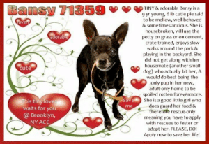 **FOSTER or ADOPTER NEEDED ASAP** TINY & adorable Bansy is a 9 yr young, 6 lb cutie pie said to be mellow, well-behaved & sometimes anxious. She is housebroken, will use the potty on grass or on cement, crate trained, enjoys slow walks around the park & playing in the backyard. She did not get along with her housemate (another small dog) who actually bit her, & would do best being the only pup in her new, adult-only home to be spoiled rotten forevermore. She is a good little girl who does guard her food & therefore rescue-only meaning you have to apply with rescues to foster or adopt her. PLEASE, DO! Apply now to save her life!   ✔Pledge✔Tag✔Share✔FOSTER✔ADOPT✔Save a life!  ******************************************** *** TO FOSTER OR ADOPT ***   To FOSTER or ADOPT, To SAVE her LIFE, SPEAK UP NOW & apply with rescues OR message Must Love Dogs - Saving NYC Dogs OR email MustLoveDogsNYC@gmail.com ASAP.  The general rule is to foster you have to be within 4 hours of the NYC ACC approved New Hope partner rescues you are applying with and to adopt you will have to be in the general NE US area; NY, NJ, CT, PA, DC, MD, DE, NH, RI, MA, VT & ME (some rescues will transport to VA).  ===========================  NOTE: WE HAVE NO OTHER INFORMATION THAN WHAT IS LISTED WITH THIS FLYER.  Bansy 71359 Small Mixed Breed Sex female Age 9 yrs (approx.) 6 lbs  My health has been checked.  My vaccinations are up to date. My worming is up to date.  I have been micro-chipped.   I am waiting for you at the Brooklyn, NY  ACC. Please, Please, Please, save me!  Basic Information: Means of surrender (length of time in previous home): Owner surrender Previously lived with: 2 adults, 1 dog Behavior toward strangers: Growls, barks, sometimes snaps Behavior toward children: Unknown  Behavior toward dogs: Growls, snaps, barks at resident dog who BIT HER Behavior toward cats: Unknown Resource guarding: Growls if other dog approaches food Bite history: Bansy was bitten on the head by her housemate Housetrained: Yes Energy level/descriptors: Bansy is reported to have a low energy level in her previous home environment. Other Notes: Bansy will snap if someone moves her from the furniture and will growl when her sleep is interrupted. She is also reported to snap during nail trims.  DVM Intake Exam Estimated age: 9 years Microchip noted on Intake? Yes History : O/S. Noted to have been bitten by housemate and possibly HBC yesterday Subjective: QAR to BARH. No csvd Observed Behavior - Very scared and nervous, snapping and trying to flee.  Sedated for exam. Evidence of Cruelty seen - no Evidence of Trauma seen - mild- no fractures, but scleral hemorrhage noted OS (ie possibly bitten in face) EENT: Enucleation OD, OS- mild exophthalmos with moderate scleral hemorrhage, nuclear sclerosis . ears clean, no nasal or ocular discharge noted Oral Exam: Very mild amount of blood noted to be mixed with saliva, unable to find obvious source, Grade II-III dental disease PLN: No enlargements noted H/L: NSR, NMA, CRT < 2, Lungs clear, eupnic ABD: Non painful, no masses palpated U/G: FS. No discharge MSI: Did not walk during exam (preferred to be curled up and sternal), then sedated. No overt fractures palpated. skin free of parasites, no masses noted, healthy hair coat CNS: Mentation appropriate - no signs of neurologic abnormalities Rectal: normal externally Chest/Abdominal/Pelvic rads: No overt fractures noted Assessment Possible HBC and Bite wound Plan: Given Rimadyl 4.4 mg/kg SQ once Reassess mentation, appetite, and ability to walk tomorrow- if able and seems comfortable, ok to move out of medical  Progress Exam  Assessment: -Possible HBC (unlikely given lack of trauma signs) -Bite wound (superficial, healing well)  -Okay to move out of medical -Requested additional socialization with Behavior Service  SURGERY: Okay for surgery   BEHAVIOR DETERMINATION: New Hope Only Behavior Asilomar TM - Treatable-Manageable Recommendations: No children (under 13)/Place with a New Hope partner. Recommendations comments: No children (under 13): Due to Bansy's behavioral challenges, we feel as though she would be best set up to succeed if placed in an experienced adult only home environment. Place with a New Hope partner: Bansy has tolerated only very minimal handling in the care center and has been observed to escalate rapidly to baring teeth and snapping towards handlers who attempt to interact with her. Because of the concerns observed in shelter combined with all the known behavior concerns reported in her previous home environment, we feel as though Bansy would be best set up to succeed if placed with an experienced rescue partner who can appropriately manage her. Force-free, reward based training only is advised.   Potential challenges: Resource guarding/Handling/touch sensitivity/Fearful/potential for defensive aggression. Potential challenges comments: Bansy is reported to growl at the other resident dog when her food is approached, though this has not been observed to be directed towards humans. Please see handout on Resource guarding. Bansy is reported to growl, bark and snap at strangers in her previous home environment which matches what has been observed in the care center. Please see handout on Fearful and Defensive Aggression. Bansy is reported to growl and snap during nail trims as well as snap when interrupted when sleeping. In the care center, she has snapped upon direct contact. Please see handout on Handling Sensitivity.  ************************************** RE: ACC site Just because a dog is not on the ACC site does NOT necessarily mean safe. There are many reasons for this like a hold or an eval has not been conducted yet or the dog is rescue-only... the list goes on... Please, do share & apply to foster/adopt these pups as well until their thread is updated with their most current status. TY! ****************************************** About Must Love Dogs - Saving NYC Dogs: We are a group of advocates (NOT a shelter NOR a rescue group) dedicated to finding loving homes for NYC dogs in desperate need. ALL the dogs on our site need Rescue, Fosters, or Adopters & that ASAP as they are in NYC high-kill shelters. If you cannot foster or adopt, please share them far & wide. Thank you for caring!! <3 ****************************************** RESCUES: * Indicates New Hope Rescue partner is accepting applications for fosters and/or adopters. http://www.nycacc.org/get-involved/new-hope/nhpartners ****************************************** Beamer Maximillian Carolin Hocker Caro Hocker Wendy Frohlich Caldwell Michele St Laurent Anarchy Animal Rescue & Rehabilitation Ready For Rescue Susie's Senior Dogs: Bansy 71359  TINY & adorable Bansy is a  9 yr young, 6 lb cutie pie said  to be mellow, well-behaved  & sometimes anxious. She is  housebroken, will use the  potty on grass or on cement,  crate trained, enjoys slow  walks around the park &  playing in the backyard. She  did not get along with her  housemate (another small  dog) who actually bit her, &  would do best being the  only pup in her new  adult-only home to  spoiled rotten forevermore.  She is a good little girl who  does guard her food &  therefore rescue-only  Ovely  adorable  cute  This tiny love  waits for you  @ Brooklyn,  NY ACC  Save  me  meaning you have to apply  with rescues to foster or  adopt her. PLEASE, DO!  Apply now to save her life! **FOSTER or ADOPTER NEEDED ASAP** TINY & adorable Bansy is a 9 yr young, 6 lb cutie pie said to be mellow, well-behaved & sometimes anxious. She is housebroken, will use the potty on grass or on cement, crate trained, enjoys slow walks around the park & playing in the backyard. She did not get along with her housemate (another small dog) who actually bit her, & would do best being the only pup in her new, adult-only home to be spoiled rotten forevermore. She is a good little girl who does guard her food & therefore rescue-only meaning you have to apply with rescues to foster or adopt her. PLEASE, DO! Apply now to save her life!   ✔Pledge✔Tag✔Share✔FOSTER✔ADOPT✔Save a life!  ******************************************** *** TO FOSTER OR ADOPT ***   To FOSTER or ADOPT, To SAVE her LIFE, SPEAK UP NOW & apply with rescues OR message Must Love Dogs - Saving NYC Dogs OR email MustLoveDogsNYC@gmail.com ASAP.  The general rule is to foster you have to be within 4 hours of the NYC ACC approved New Hope partner rescues you are applying with and to adopt you will have to be in the general NE US area; NY, NJ, CT, PA, DC, MD, DE, NH, RI, MA, VT & ME (some rescues will transport to VA).  ===========================  NOTE: WE HAVE NO OTHER INFORMATION THAN WHAT IS LISTED WITH THIS FLYER.  Bansy 71359 Small Mixed Breed Sex female Age 9 yrs (approx.) 6 lbs  My health has been checked.  My vaccinations are up to date. My worming is up to date.  I have been micro-chipped.   I am waiting for you at the Brooklyn, NY  ACC. Please, Please, Please, save me!  Basic Information: Means of surrender (length of time in previous home): Owner surrender Previously lived with: 2 adults, 1 dog Behavior toward strangers: Growls, barks, sometimes snaps Behavior toward children: Unknown  Behavior toward dogs: Growls, snaps, barks at resident dog who BIT HER Behavior toward cats: Unknown Resource guarding: Growls if other dog approaches food Bite history: Bansy was bitten on the head by her housemate Housetrained: Yes Energy level/descriptors: Bansy is reported to have a low energy level in her previous home environment. Other Notes: Bansy will snap if someone moves her from the furniture and will growl when her sleep is interrupted. She is also reported to snap during nail trims.  DVM Intake Exam Estimated age: 9 years Microchip noted on Intake? Yes History : O/S. Noted to have been bitten by housemate and possibly HBC yesterday Subjective: QAR to BARH. No csvd Observed Behavior - Very scared and nervous, snapping and trying to flee.  Sedated for exam. Evidence of Cruelty seen - no Evidence of Trauma seen - mild- no fractures, but scleral hemorrhage noted OS (ie possibly bitten in face) EENT: Enucleation OD, OS- mild exophthalmos with moderate scleral hemorrhage, nuclear sclerosis . ears clean, no nasal or ocular discharge noted Oral Exam: Very mild amount of blood noted to be mixed with saliva, unable to find obvious source, Grade II-III dental disease PLN: No enlargements noted H/L: NSR, NMA, CRT < 2, Lungs clear, eupnic ABD: Non painful, no masses palpated U/G: FS. No discharge MSI: Did not walk during exam (preferred to be curled up and sternal), then sedated. No overt fractures palpated. skin free of parasites, no masses noted, healthy hair coat CNS: Mentation appropriate - no signs of neurologic abnormalities Rectal: normal externally Chest/Abdominal/Pelvic rads: No overt fractures noted Assessment Possible HBC and Bite wound Plan: Given Rimadyl 4.4 mg/kg SQ once Reassess mentation, appetite, and ability to walk tomorrow- if able and seems comfortable, ok to move out of medical  Progress Exam  Assessment: -Possible HBC (unlikely given lack of trauma signs) -Bite wound (superficial, healing well)  -Okay to move out of medical -Requested additional socialization with Behavior Service  SURGERY: Okay for surgery   BEHAVIOR DETERMINATION: New Hope Only Behavior Asilomar TM - Treatable-Manageable Recommendations: No children (under 13)/Place with a New Hope partner. Recommendations comments: No children (under 13): Due to Bansy's behavioral challenges, we feel as though she would be best set up to succeed if placed in an experienced adult only home environment. Place with a New Hope partner: Bansy has tolerated only very minimal handling in the care center and has been observed to escalate rapidly to baring teeth and snapping towards handlers who attempt to interact with her. Because of the concerns observed in shelter combined with all the known behavior concerns reported in her previous home environment, we feel as though Bansy would be best set up to succeed if placed with an experienced rescue partner who can appropriately manage her. Force-free, reward based training only is advised.   Potential challenges: Resource guarding/Handling/touch sensitivity/Fearful/potential for defensive aggression. Potential challenges comments: Bansy is reported to growl at the other resident dog when her food is approached, though this has not been observed to be directed towards humans. Please see handout on Resource guarding. Bansy is reported to growl, bark and snap at strangers in her previous home environment which matches what has been observed in the care center. Please see handout on Fearful and Defensive Aggression. Bansy is reported to growl and snap during nail trims as well as snap when interrupted when sleeping. In the care center, she has snapped upon direct contact. Please see handout on Handling Sensitivity.  ************************************** RE: ACC site Just because a dog is not on the ACC site does NOT necessarily mean safe. There are many reasons for this like a hold or an eval has not been conducted yet or the dog is rescue-only... the list goes on... Please, do share & apply to foster/adopt these pups as well until their thread is updated with their most current status. TY! ****************************************** About Must Love Dogs - Saving NYC Dogs: We are a group of advocates (NOT a shelter NOR a rescue group) dedicated to finding loving homes for NYC dogs in desperate need. ALL the dogs on our site need Rescue, Fosters, or Adopters & that ASAP as they are in NYC high-kill shelters. If you cannot foster or adopt, please share them far & wide. Thank you for caring!! <3 ****************************************** RESCUES: * Indicates New Hope Rescue partner is accepting applications for fosters and/or adopters. http://www.nycacc.org/get-involved/new-hope/nhpartners ****************************************** Beamer Maximillian Carolin Hocker Caro Hocker Wendy Frohlich Caldwell Michele St Laurent Anarchy Animal Rescue & Rehabilitation Ready For Rescue Susie's Senior Dogs