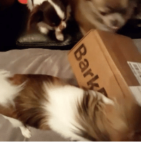 Just a SLEW OF CHIHUAHUA's having a wild time with their February BarkBox on BarkBoxDay! . If your dog couldn't get enough of their Sniffin' Safari barkbox, follow the link in our bio (ruv.me-shopsafaribox) to shop all of the items from this month's theme! And don't forget to keep uploading your DogVsWild photos for features! . @thechivengers: Bar Just a SLEW OF CHIHUAHUA's having a wild time with their February BarkBox on BarkBoxDay! . If your dog couldn't get enough of their Sniffin' Safari barkbox, follow the link in our bio (ruv.me-shopsafaribox) to shop all of the items from this month's theme! And don't forget to keep uploading your DogVsWild photos for features! . @thechivengers