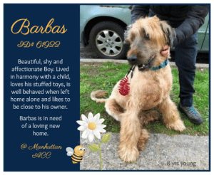 Being Alone, Beautiful, and Cats: Barbas  SD# 61999  Beautiful, shy and  affectionate Boy. Lived  in harmony with a child,  loves his stuffed toys, is  well behaved when left  home alone and likes to  be close to his owner.  Barbas is in need  of a loving new  home.  Manhattan  8 yrs young *DEFERRED INTAKE*  Gorgeous pooch Barbas needs help finding a new home!  Beautiful Barbas is a shy, friendly boy. He likes playtime and to be close to his person and is well behaved when left home alone. Barbas has lived with a child and was friendly and affectionate around the kid. He seems not so fond of his own kind and might want to be your only fur child. Please share this handsome middle aged boy for a loving new home!   BARBAS, ID# 61922, 8 yrs old, xx lbs, Manhattan Animal Care Center, Large Mixed Breed Cross, Brown Male,  Owner Surrender Reason: unforeseen circumstances and lack of time to care for him appropriately Shelter Assessment Rating:  Medical Behavior Rating:  OWNER SURRENDER NOTES - BASIC INFORMATION: Barbas is a 8 year old large mixed breed dog whose owner got him from a friend and who is being surrendered due to unforeseen circumstances and lack of time to care for him appropriately. Barbas previously lived with 2 adults and 1 child. Barbas is described as shy. When visitors come over he tends to stay away and cower a bit. He has lived with children and he is described as affectionate. He approaches children and allows to be petted. Barbas has never lived with dogs. He gets walked frequently and he is often very reactive to dogs and often time charges towards them. He is muzzled when he is walked at times. Barbas has never lived with cats either, his behavior is unknown around cats. Barbas allows the stranger and the family to remove food/treat/toy away. He remains relaxed. No resources guarding. He has no previous bite history, is housetrained and his energy level is medium-low.  Has this dog ever had any medical issues? Yes  Medical Notes Barbas had a stroke 3 years ago which has caused him to lose sensitivity in his left hind leg.  For a New Family to Know Barbas is an exuberant 8 year old large mixed breed dog. He is described to be potty trained and is accustomed to using the bathroom outdoors. He occasionally has accidents according to his owner whenever he is not walked throughout the day. Barbas loves stuffed toys, games of tug a war as well as wrestling. Barbas has never been around heavy storms nor fireworks. He has been in a car plenty of times and is fine inside of them. He loves to be outdoors and walked as frequently as possible. When off leash he tends to run around. Barbas does however remain close to her owner. Barbas is described to like both dry and went food. the brand of food h enjoys the most is Cesar. Barbas tends to follow his owner around when they arrive home, in addition to likes to be in the same room. He sleeps either on the floor on a towel or on his owner's bed. When left alone Barbas is described to be well behaved.  * TO FOSTER OR ADOPT *   If you would like to adopt a NYC ACC dog, and can get to the shelter in person to complete the adoption process, you can contact the shelter directly. We have provided the Brooklyn, Staten Island and Manhattan information below. Adoption hours at these facilities is Noon – 8:00 p.m. (6:30 on weekends)  If you CANNOT get to the shelter in person and you want to FOSTER OR ADOPT a NYC ACC Dog, you can PRIVATE MESSAGE our Must Love Dogs page for assistance. PLEASE NOTE: You MUST live in NY, NJ, PA, CT, RI, DE, MD, MA, NH, VT, ME or Northern VA. You will need to fill out applications with a New Hope Rescue Partner to foster or adopt a NYC ACC dog. Transport is available if you live within the prescribed range of states.  Shelter contact information: Phone number (212) 788-4000 Email adopt@nycacc.org  Shelter Addresses: Brooklyn Shelter: 2336 Linden Boulevard Brooklyn, NY 11208 Manhattan Shelter: 326 East 110 St. New York, NY 10029 Staten Island Shelter: 3139 Veterans Road West Staten Island, NY 10309