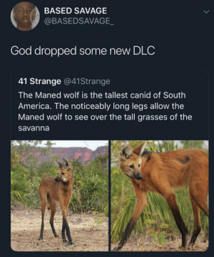 Life 2 dropping next week!: BASED SAVAGE  @BASEDSAVAGE  God dropped some new DLC  41 Strange @41Strange  The Maned wolf is the tallest canid of South  America. The noticeably long legs allow the  Maned wolf to see over the tall grasses of the  savanna Life 2 dropping next week!