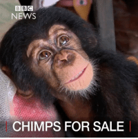 """Memes, Bbc News, and 🤖: BBC  NEWS  CHIMPS FOR SALE 31 JAN: A secret network of wildlife traffickers selling baby chimpanzees has been exposed. The tiny animals are seized from the wild and sold as pets. A BBC investigation uncovered a notorious West African hub for wildlife trafficking, known as the """"blue room"""", and led to the rescue of a one-year-old chimp. Find out more: bbc.in-chimpsmuggling Animals Chimps Chimpanzees IvoryCoast AnimalTrafficking EndangeredSpecies BBCShorts BBCNews @bbcnews"""