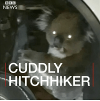 Animals, Journey, and Memes: BBC  NEWS  CUDDLY  HITCHHIKER This koala was found clinging to the axle of a four-wheel drive in Australia. It's thought the female crawled under the vehicle's wheel arch while it was parked in the hills near Adelaide. The driver only discovered the hitchhiker after making a 16km (10-mile) journey. Rescuers had to remove the wheel to free the koala. It has now recovered from its ordeal and has been released back into the wild. koala hitchhiker adelaide australia animals lucky